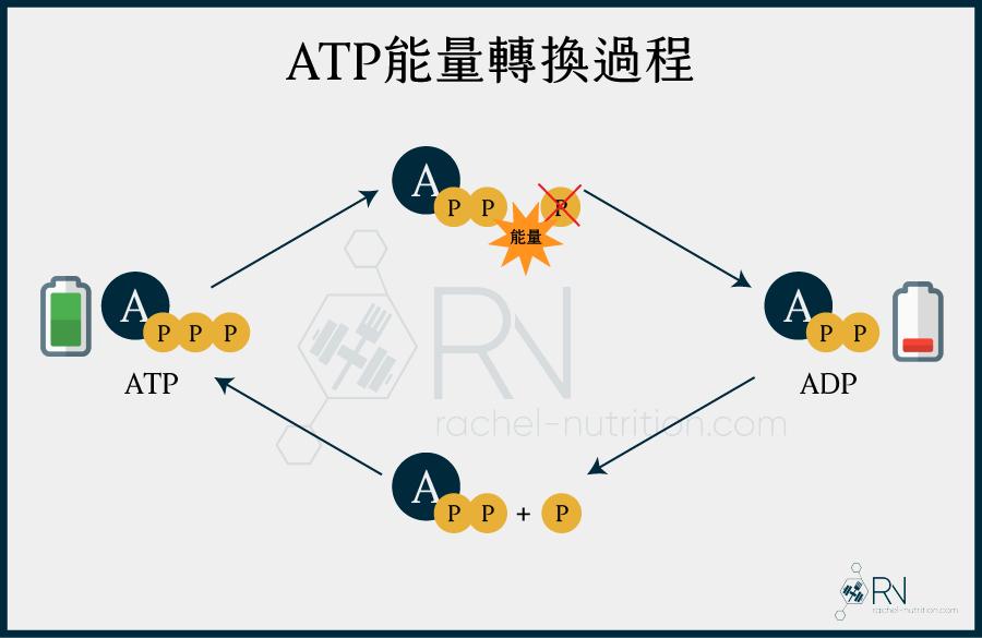 ATP和ADP轉換過程